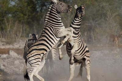 Imagine cu două zebre orientate una spre cealaltă cu copitele din față ridicate
