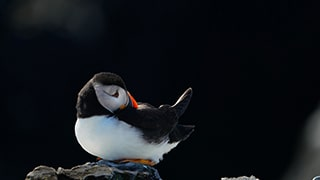 gustav-kiburg-sony-alpha-9-puffin-sat-on-rocks-looking-sad