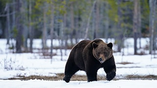 gustav-kiburg-sony-alpha-9-brown-bear-running-through-snowy-landscape