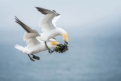 gustav-kiburg-sony-alpha-9-2-birds-jostle-over-piece-of-seaweed-as-theyre-flying