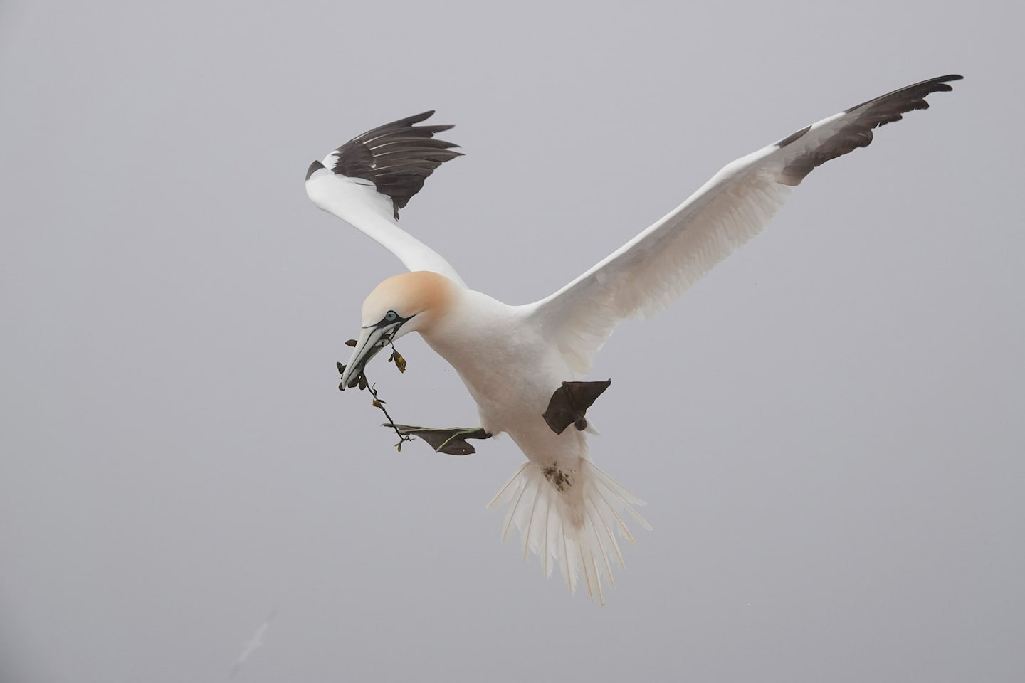 gustav kiburg sony rx10IV northern gannet in norway