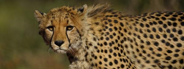 Portret al unui ghepard