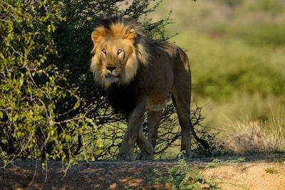 Imagine cu un leu într-un cadru umbros